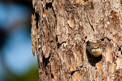 Brown-headed Nuthatch, by me