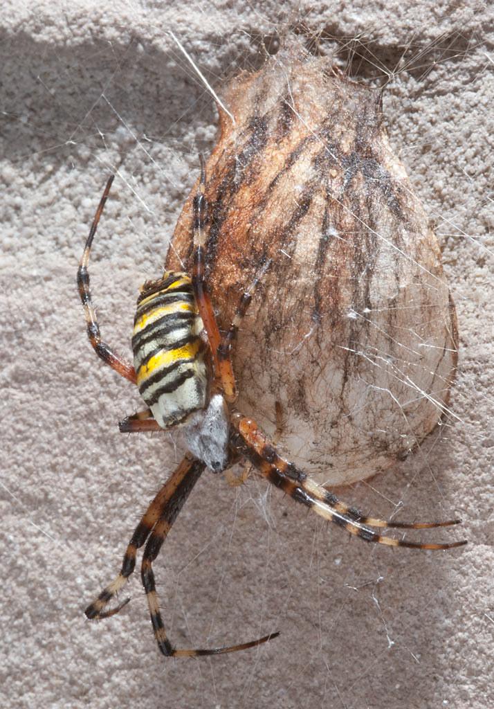 tijgerspin, Argiope bruennichi