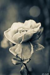 Rose et spleen (fabdebaz) Tags: bw fleur rose nb 31 2010 decembre aficionados végétation sudouest hautegaronne k10d pentaxk10d justpentax collectionnerlevivantautrement