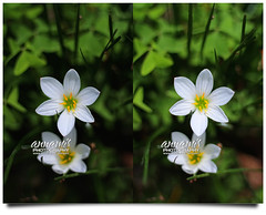 Thank You for Your Support | 3D Stereography (AnNamir c[_]) Tags: flowers nature beautiful canon 50mm 3d stereo malaysia 7d handheld f2 bunga stereograph stereography bukittinggi sifoocom annamir