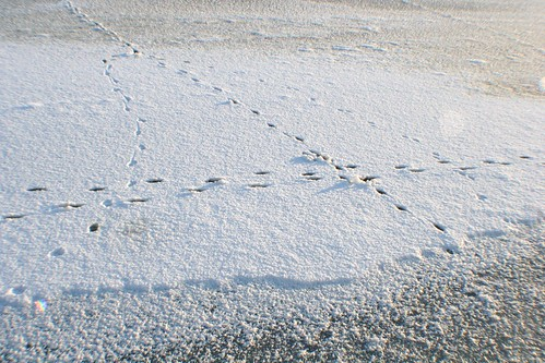 Animal Tracks on White Cart
