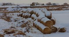 Mish Mash of Rounds (DJ MacTrucker) Tags: winter snow farm alberta round bales bale rotoballe merleedmtrip