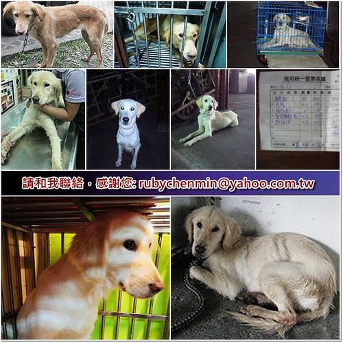 「助認養」花蓮收容所救出的2隻排骨黃金獵犬和混母拉,全部體弱多病,懇請贊助醫療資源,也徵助認養喔~謝謝您!20101224