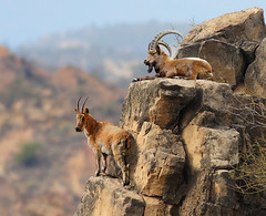 The Alpine Ibex (zahoor-salmi) Tags: pakistan macro nature birds animal canon photo natural action wildlife punjab salmi walpapers bhalwal zahoorsalmi