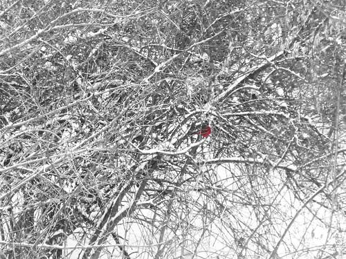 cardinal-photoshopped
