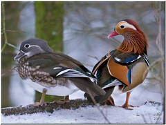 Mandarin ducks (Maria-H) Tags: uk winter england snow duck cheshire stockport mandarin 100300 compstall etherowcountrypark dmcgh2 panasonicgh2