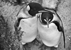 penguins (gdraskoy) Tags: holland bird amsterdam zoo penguin 1965 pingvin