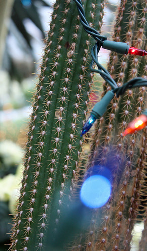 Christmas lights and cactus