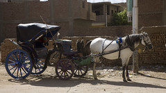 2010103000232 zzzFlickrMP (robertsladeuk) Tags: africa horses horse carriage african egypt pony egyptian ponies luxor thebes carriages zzzflickrmp crobertmanorphotographycom robertmanorphotographycom