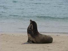 Alpha Male Sea Lion, Santa Fe Island