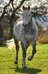 The hardest thing about learning to ride a horse? (Helen Beresford) Tags: horse white field sunshine gray pony dappled canter gallop hooves