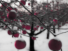 Orchard Sunrise (William Flowers) Tags: trees red snow apple minnesota sunrise orchard appleorchard appletrees