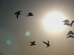 30 Seconds: Seagulls (spmcfarland) Tags: sunset seagulls motion birds animals silhouette fauna speed movie video high slow gulls flock flight casio exfc100