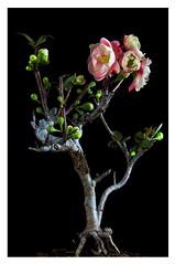 Chinese Plum Tree (ryklin) Tags: tree japanese nikon taiwan apricot keelung nikond90 chineseplumtree japaneseapricottree ourdailychallenge nikon18200vrll