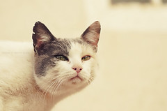 Bad Cat ||~ (Abdullah Al-Essa -  ) Tags: cats animal animals cat bad