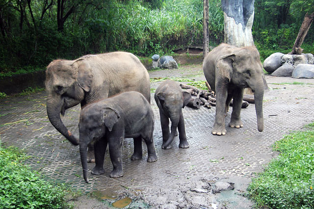 Elephant family in Bali Zoo