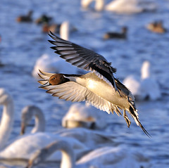 pintail (Lolls Marshall) Tags: ducks mallard panning pintail shelduck martinmere whooperswan flyingducks