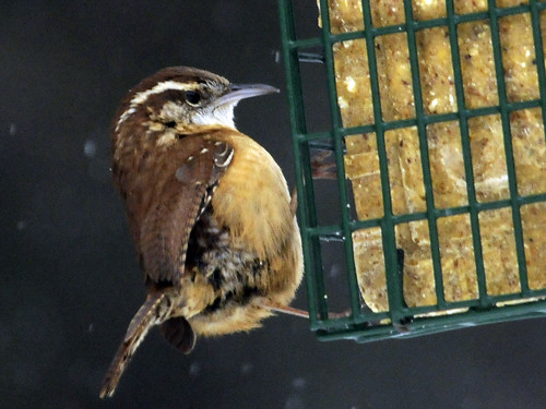 Suet Snow Carolina Wren