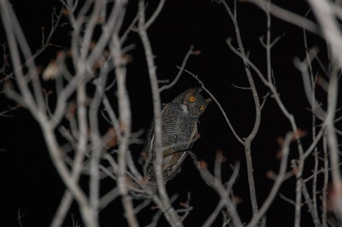 So honored to have a great horned owl choose our tree!