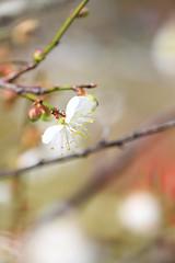 寒梅梅 (samyaoo) Tags: bokeh plum taiwan 南投 台灣 plumblossoms 梅花 nantou shinyi 信義 牛稠坑 柳家梅園 百微 散景 ef100mmmacrof28