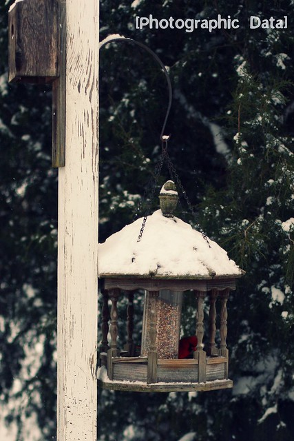 cardinal in bird feeder