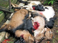 Potong kambing (Mangiwau) Tags: festival indonesia java blood eid goat goats jakarta gore cutting lamb lambs throat kambing bogor slaughterhouse sacrifice slaughtering adha sacrificial carcasses potong idul dipotong
