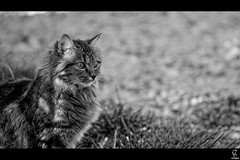 [14/365] Regard (Cdric A. Photographie ) Tags: white black france cat canon eos chat flickr noir noiretblanc fave l cedric 365 usm provence blanc 70200 ef f4 projet vaucluse 1day amat carpentras 50d project365 1photo
