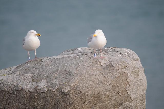 crung gulls