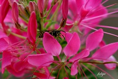 (fabiju) Tags: macro rose fleurs t insecte gupe coth supershot finess naturestfiness naturest