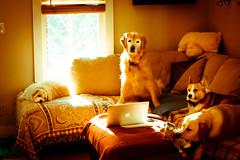 Slow Morrning (Oh Captain - My Caitlin) Tags: morning sunlight dogs window goldenretriever corgi yellowlab laptop sophie couch coco bodie payton stuffanimal macbook pillowpet corgazu