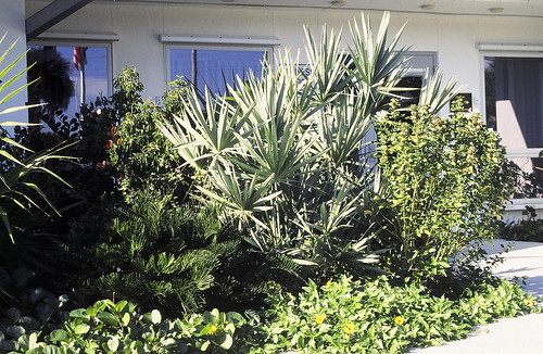 Silver Saw Palmetto by SCCF nursery