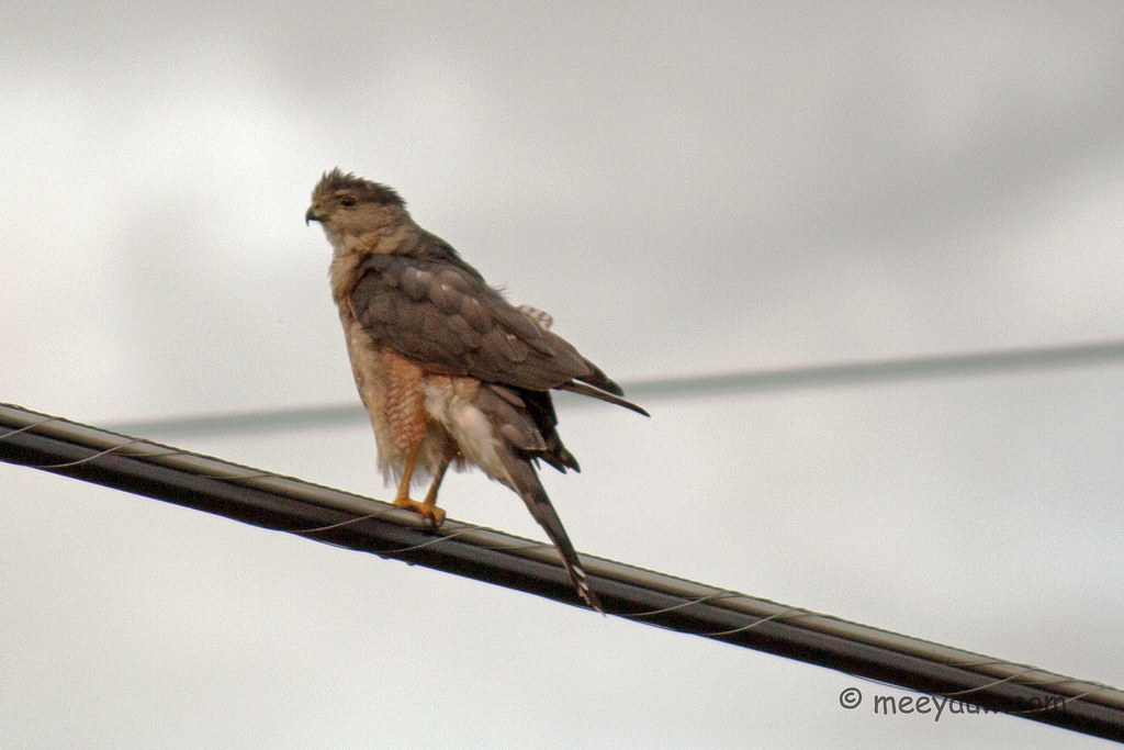 Juvenile Red-tailed Hawk  14.jpg