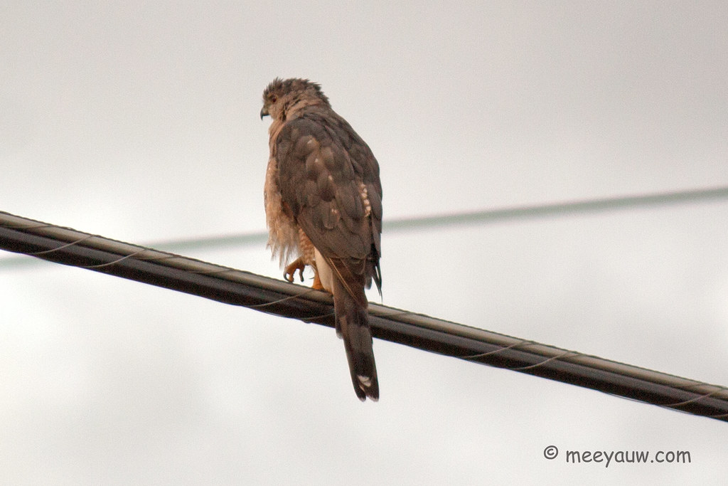 Juvenile Red-tailed Hawk  19.jpg