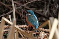 Kingfisher pose  22.1.2011 (6) (Margaret the Novice) Tags: kingfishers fantasticnature naturewatcher