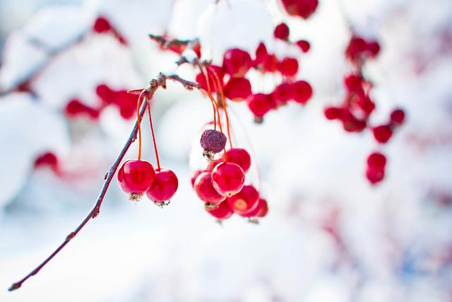 365: 52 Winter Berries