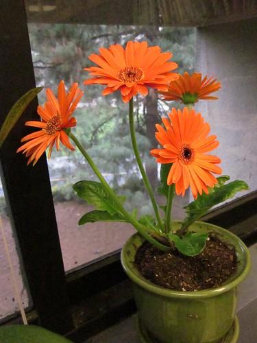 Orange Gerbera Daisy Plant