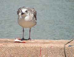 GF260 (molarinho29) Tags: bird portugal report ave algarve ferragudo