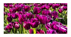 Frilly's in The Field (red stilletto) Tags: tesselaartulipfestival tulip tulips purple