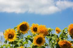 Adios Summer! (matthewkaz) Tags: sunflowers sunflower flower flowers sky clouds newyork burnaps burnapsfarmmarket sodus 2010