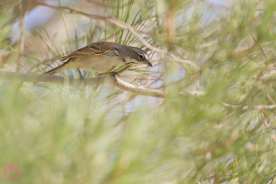 Sage Sparrow 11101-4