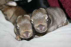 10 days old (Focus Photography NZ) Tags: baby bunny bunnies litter kits kit rabbits cottontail minilop