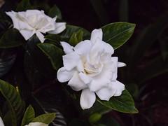 Gardenia jasminoides (2 photos)
