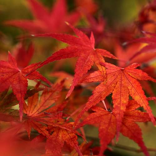 Japanese Maple In Late Autumn