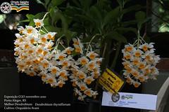 Dendrobium thyrsiflorum - Orquidrio Avani - foto 2 (Luiz Filipe Varella) Tags: parque de orchids redeno porto orchidaceae brazilian alegre laelia orqudeas crculo brasileiras cgo orquidrio gacho gachas purpurata farroupilha orquidfilos