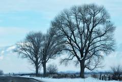 Snow Bird (Darrell Wyatt) Tags: winter snow tree utah valley cache cachevaley darrellshouldusemoretags iwasntfinishedmark