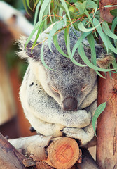 Koala cute (Marina Nozyer) Tags: bear park wood sleeping wild tree cute tourism nature animal closeup comfortable fur zoo one leaf big holding san nap sleep finger wildlife gray australian fluffy diego nobody sleepy claw tired koala pouch dreams ear lone napping leisure clutch eucalyptus resting relaxation marsupial vacations tranquil laziness indigenous gripping cling embracing