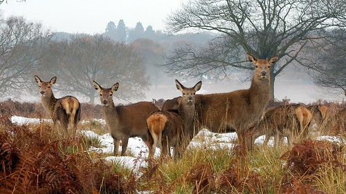 Deer in Richmond Park by DavidGeen, on Flickr