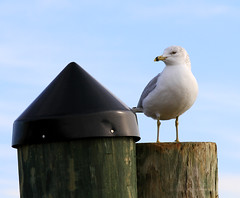 Annapolis Seagull (` Toshio ') Tags: bird history harbor wings colorful downtown seagull beak maryland capitol 7d annapolis piling toshio annapolisharbor canon7d