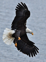 Eagle Going Down (Deby Dixon) Tags: lake bird tourism nature photography inflight fishing nikon eagle wildlife baldeagle diving idaho mature raptor deby avian kokanee coeurdalene allrightsreserved 2010 lakecoeurdalene naturephotographer debydixon salmonspawn debydixonphotography amazingwildlifephotography