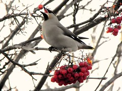 On me hed son !      {Explored} (dowicher) Tags: bird birds berry funny berries lol wildlife wing explore wax juggling juggler balancing waxwing headers candels balancingact